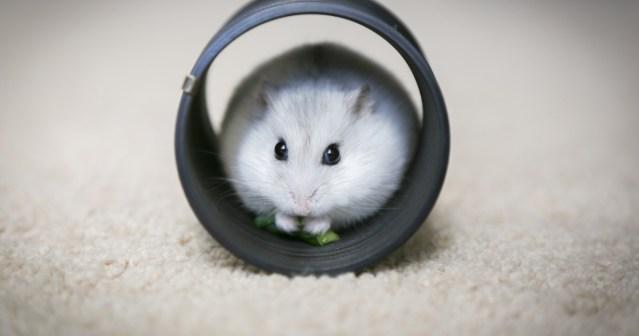 Hamsteri on piiloutumisputkessa.
