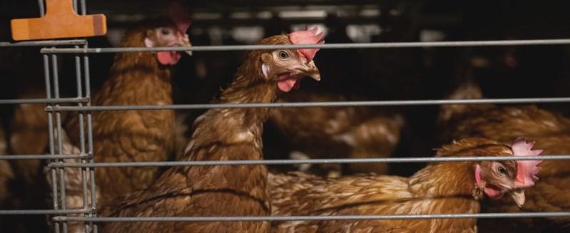 Ruskeat kanat seisovat kanalan häkissä.