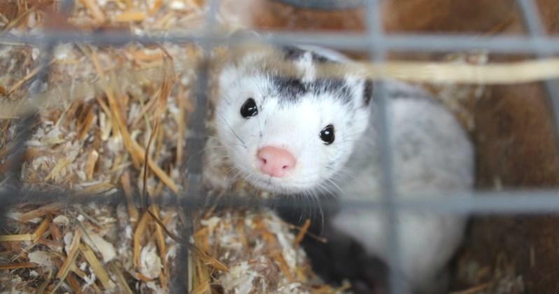 Turkistarhan häkissä asuva minkki katsoo verkon läpi.