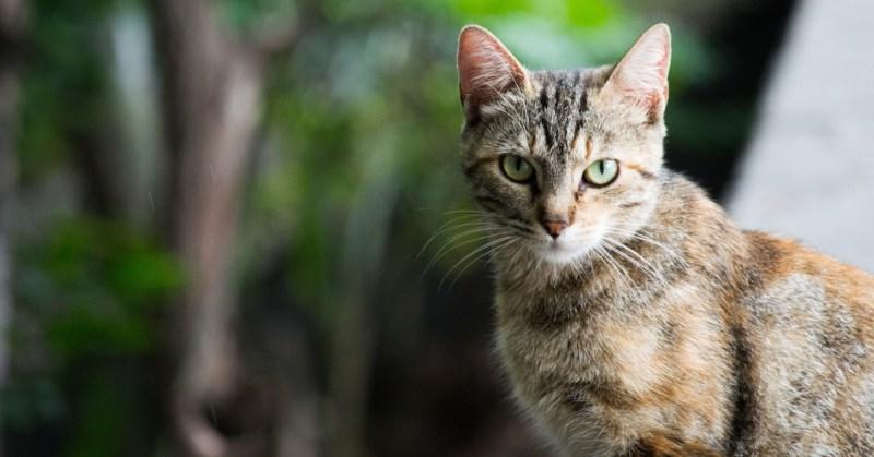 Kirjava kissa istuu ulkona ja katsoo suoraan kameraan.