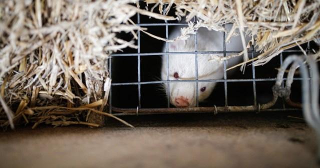 Hollannin parlamentti kannattaa minkkitarhojen sulkemista koronan vuoksi