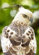 Crested Hawk Eagle