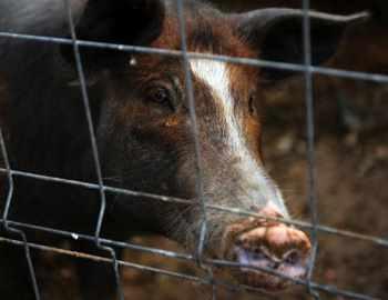 В каких случаях свинья нападет и покусает съест человека