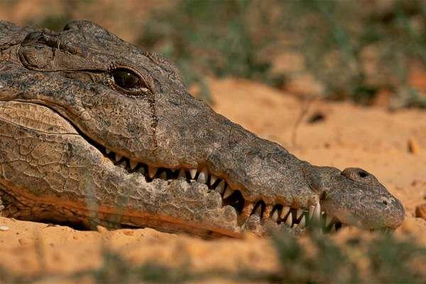 Метка: крокодил