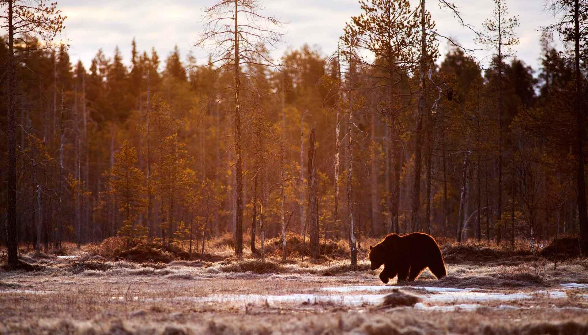 Bjørn forbereder sig på dvaletilstand