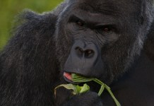 Types of Gorilla: A Gorilla Species Guide