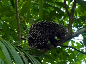Old World Porcupines – Hystricidae