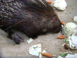 A Porcupines Diet