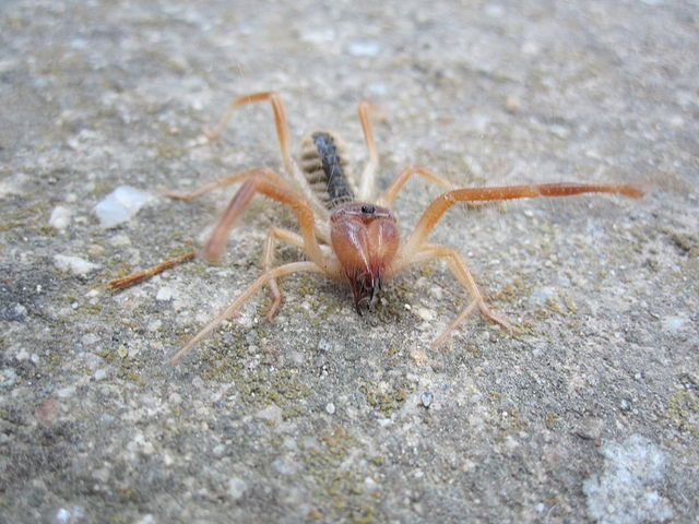 Are Camel Spiders Venomous? Camel Spider Facts