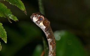 Blunthead slug snake