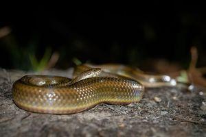 Rainbow water snake