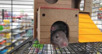 Best Pet Rat Cages: Rats Living Happily Together!