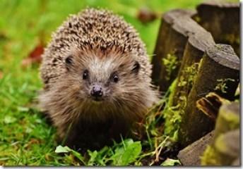 hedgehog-child-1759027_960_720