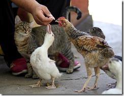 Un chat, un canard et une poule se tendent vers une main qui les nourrit