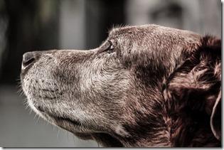 Tête de vieux chien