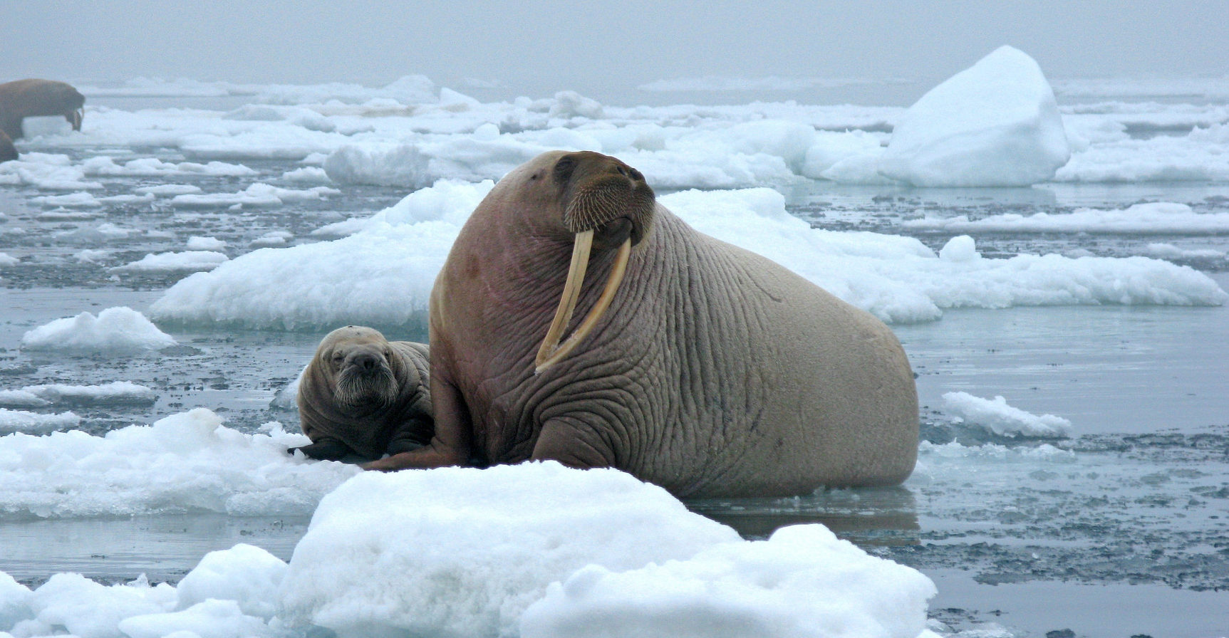 Protest Breaking Up Walrus Mom And Her Pups
