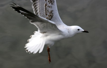 young-seagull-flyingweb