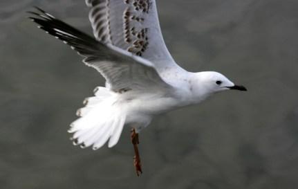 young-seagull-flyingweb
