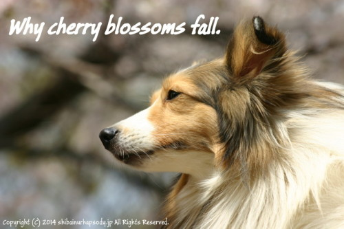Why cherry blossoms fall