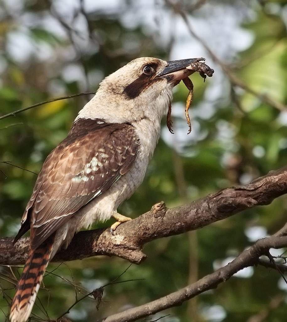 Burung Kookaburra Gaya Hidup Dan Habitat Kookaburra