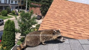 Raccoon on Roof in Toronto, Hire Animal Removal Toronto, Affordable Animal Removal, Animal Removal Services, Animal Removal North York