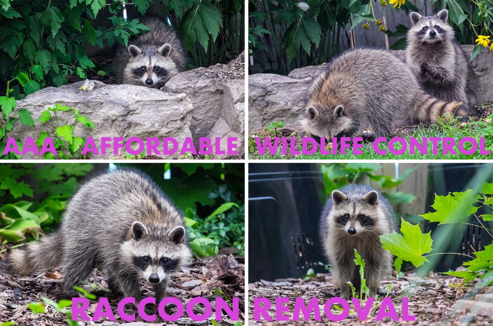Animal Removal Toronto, $295 Wild Animal Creature Eradication in Toronto
