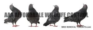 Bird Removal Toronto - Pigeon Removal Toronto