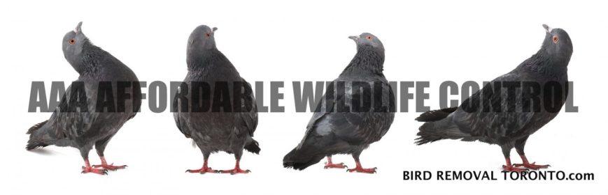 Animal Removal Toronto - Affordable Bird Removal Toronto