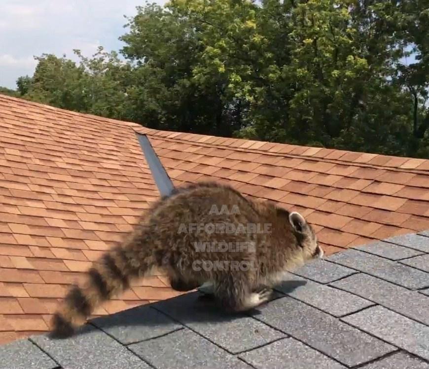 Animal Removal Toronto - Raccoon Removal Toronto, Affordable Wildlife Control