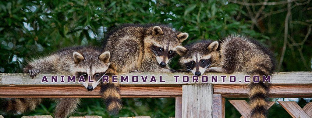 Animal Removal Toronto - Animal Removal, Animal Removal Services, Animal Removal Brampton, Animal Removal Mississauga, Animal Control Toronto,