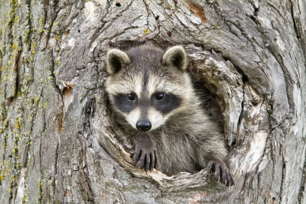 Raccoon Removal - Interesting Facts | Animal Remover