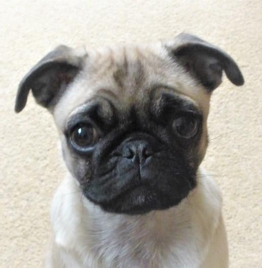 Pug Puppy Face