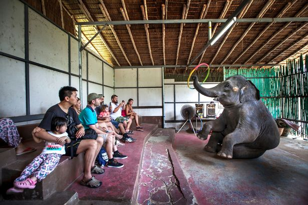 Asian elephants forced to perform for tourists