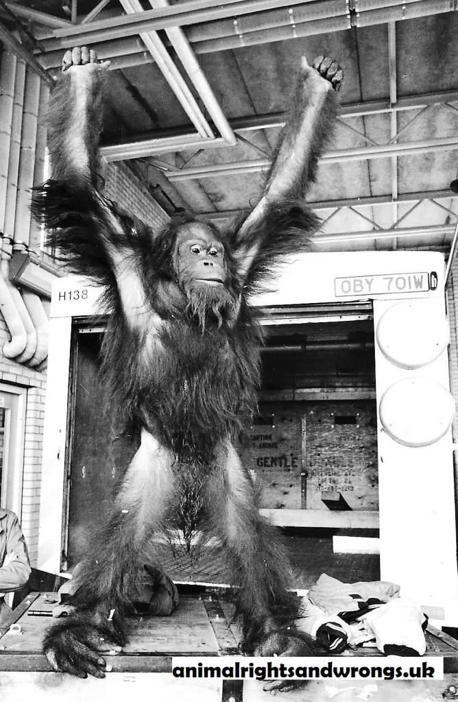 Orang-utan, animal actor, movies, animal cruelty