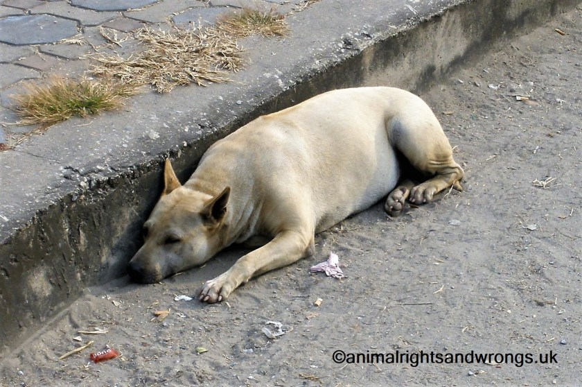 Importing dogs from abroad, dog in gutter, stray dog