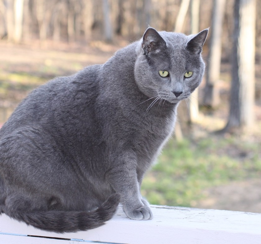 Obesity in cats, overweight cat,