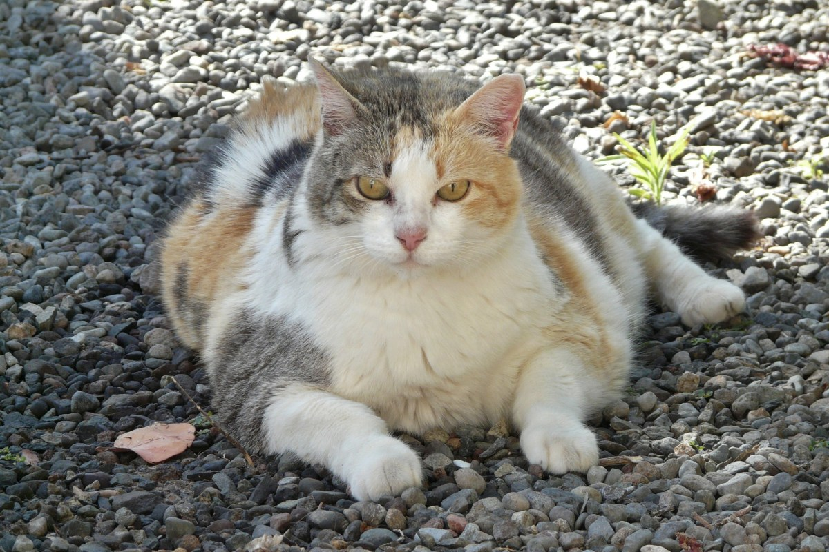 obese cat, overfeeding a pet, irresponsible ownership, cruelty to cats