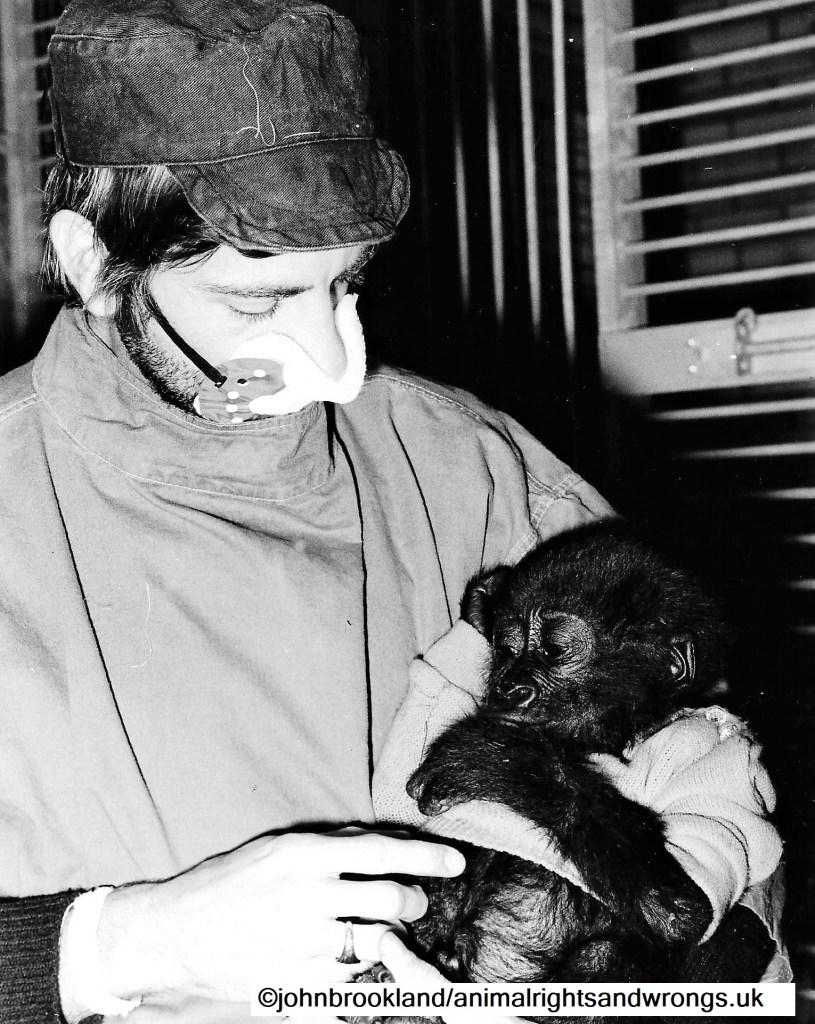 Baby gorilla, smuggled apes, smuggled wildlife