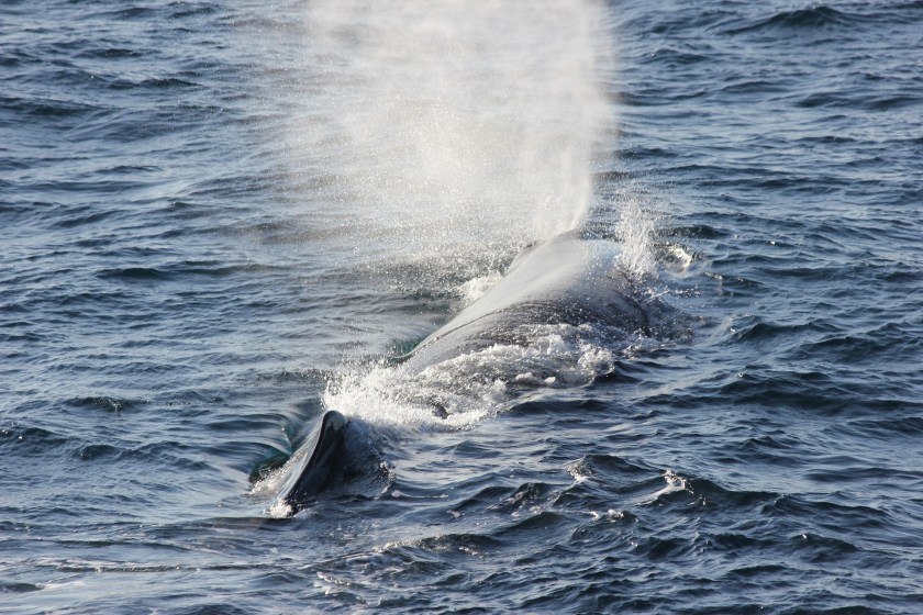whales, whale hunting, whaling ban, whaling moratorium