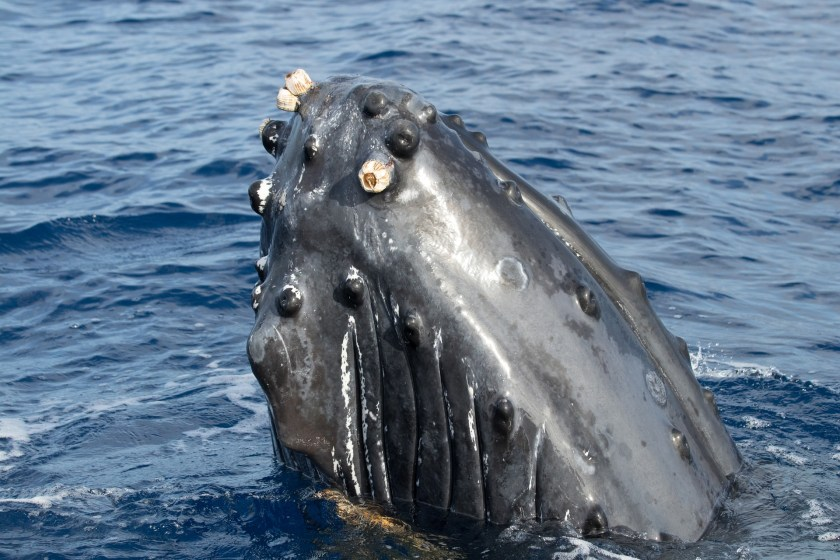 Whaling, illegal whaling, IWC,Commercial whaling ban,whaling moratorium