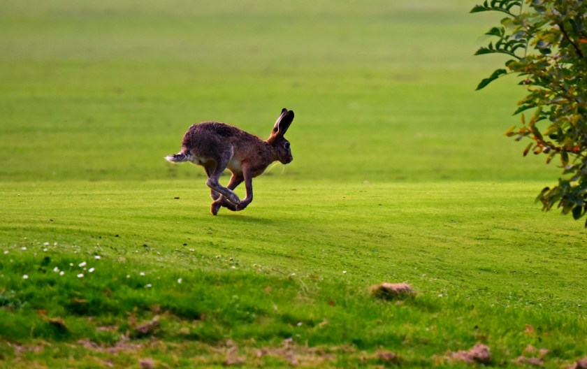 Hare, hare coursing, illegal hare coursing