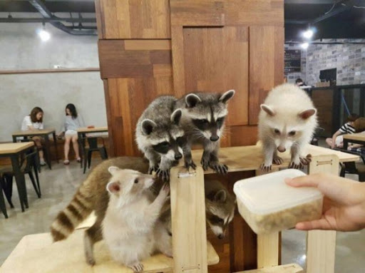 Animal cafe with racoons