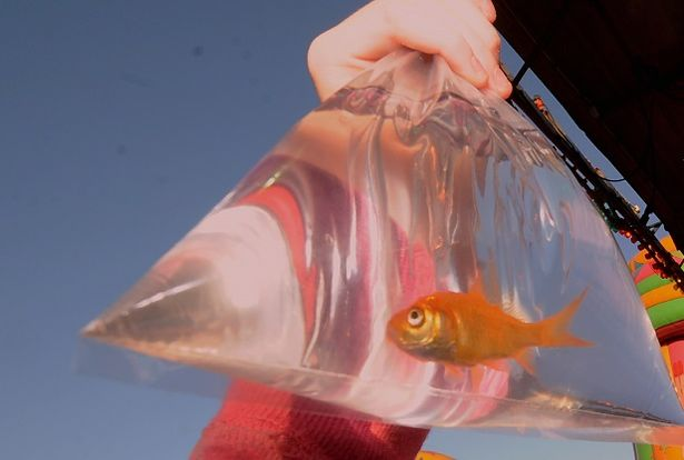 Goldfish eating, social media and Neknominate