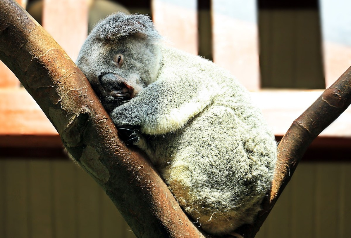 Longleat criticised for importing koalas for money-making.