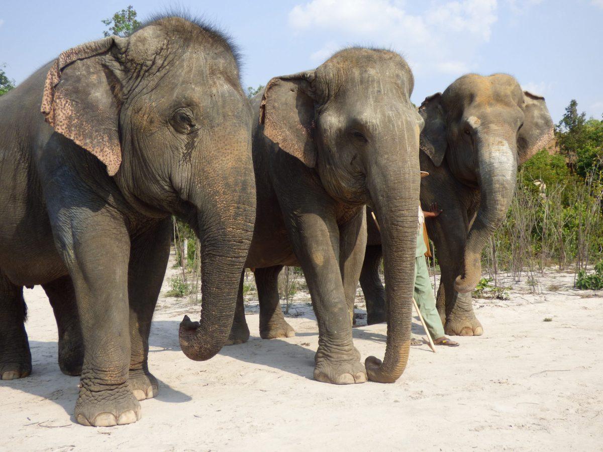 Kulen Forest elephants