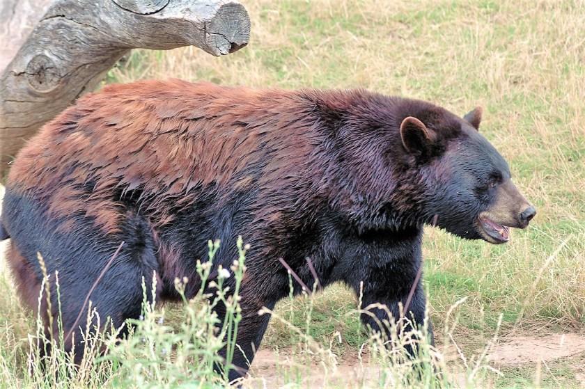 a bear on the prowl