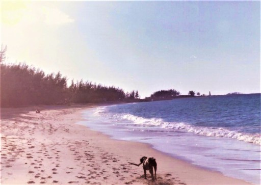 Condor a black Labrador dog walking along Paradise Island beach, Nassau in 1976 carrying a piece of driftwood.