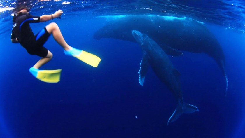 Child swimming with humpback whale