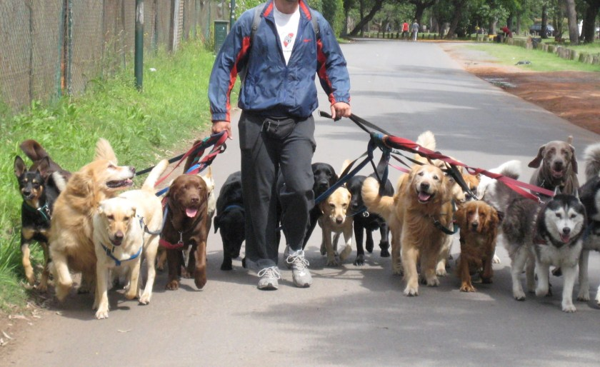 dog walker with pack of dogs