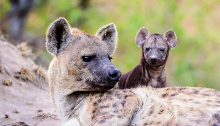moteriškos hienos varpos)